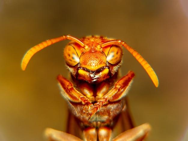 Ekstremalne makro strzał szerszeń europejski (vespa crabro) zajęty budowanie gniazda szerszeni.
