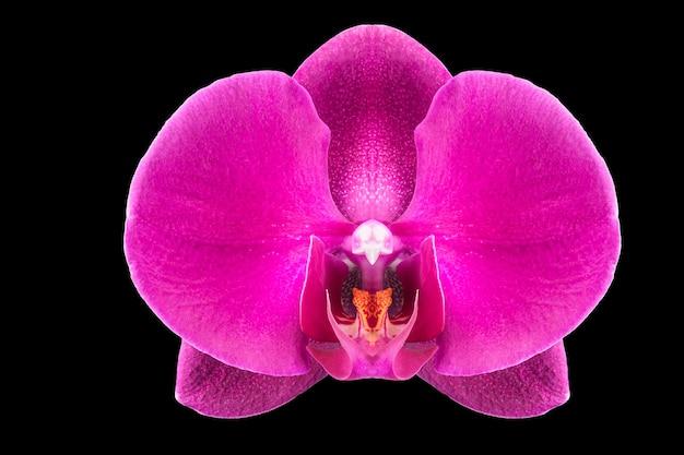 Ekstremalne zbliżenie fioletowe phalaenopsis lub moth orchid z rodziny orchidaceae