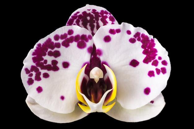 Ekstremalne zbliżenie różowej phalaenopsis lub moth orchid z rodziny orchidaceae