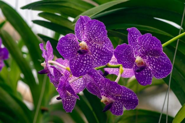 Eksturowane fioletowe storczyki ćmy (phalaenopsis amabilis), powszechnie znane jako storczyk księżycowy.