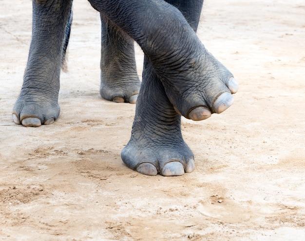 Elefant nogi