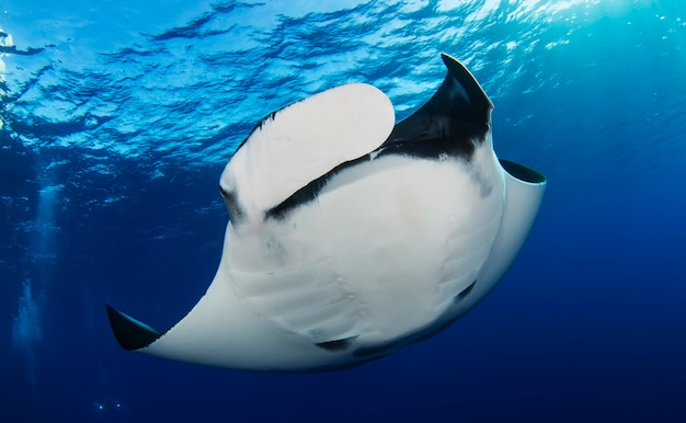 Elegancka manta ray unosi się pod wodą.