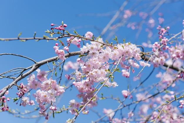 Elegancka piękna gałąź ozdobnych wiśni z kwiatami na tle błękitnego nieba.