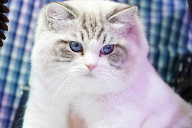 Elegancki biały kot z tygrysim wzorem bez twarzy i niebieskich oczu.
