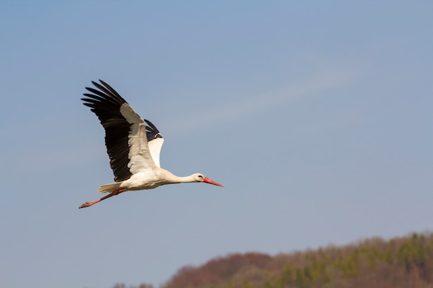 Elegancki, piękny biały bocian z rozpostartymi skrzydłami, czarnym ogonem i długimi nogami latającymi wysoko na czystym, jasnoniebieskim bezchmurnym niebie. piękno przyrody, problemy środowiskowe i ochrona przyrody.