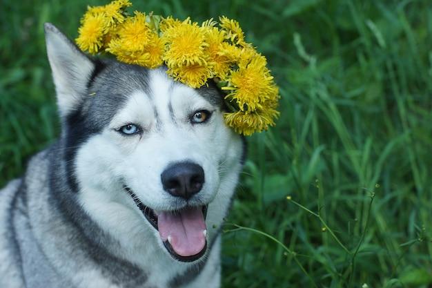 Elegancki pies rasy husky z wieńcem z mniszka lekarskiego.