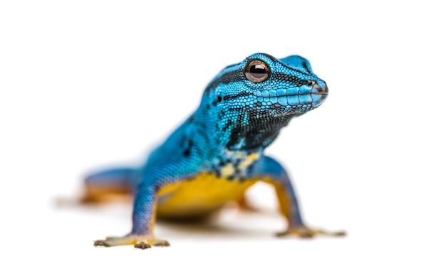 Elektryczny niebieski gekon, lygodactylus williams