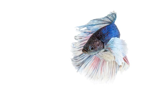 Elephant ears betta ryb, niebieski i biały halfmoon betta splendens lub bojownik syjamski samodzielnie na białym tle