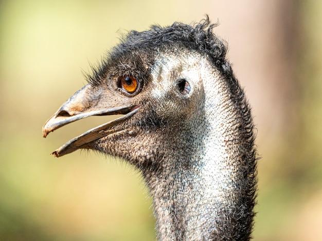 Emu jest drugim co do wielkości żyjącym ptakiem pod względem wysokości, po swoim krewnym bezgrzebieniowym, strusiu.