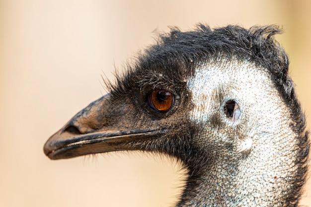 Emu jest drugim co do wysokości żyjącym ptakiem, po jego krewniaku bezgrzebieniowym, strusiu.