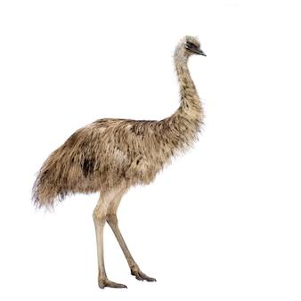 Emu przed białym tłem