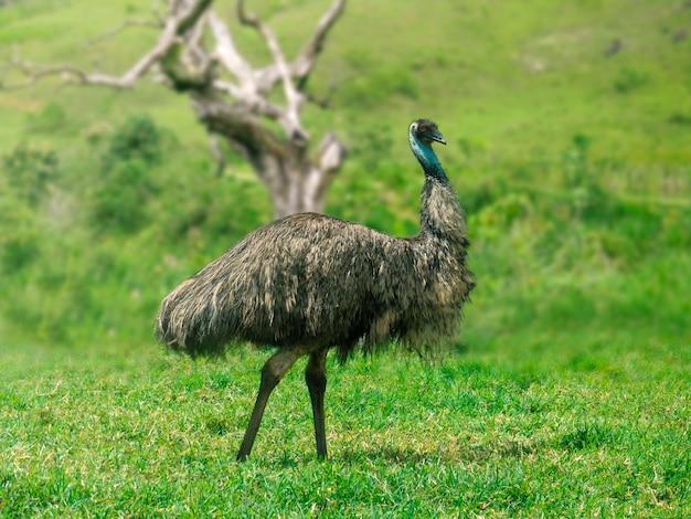 Emu spaceruje wśród zielonej roślinności.