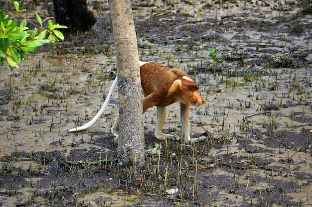Endemiczny trąb na wyspie borneo w malezji