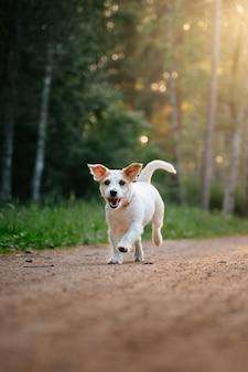 Energiczny i zabawny jack russell terrier biegający leśną ścieżką w parku na spacer