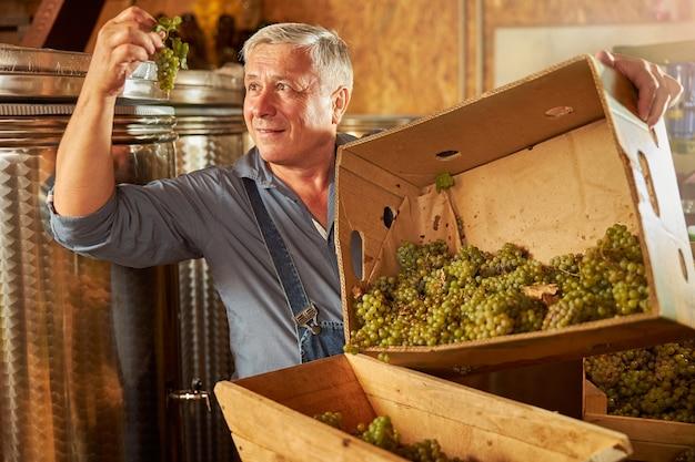 Entuzjastyczny winiarz podczas pracy w winnicy uważnie przygląda się kiści białych winogron w dłoni