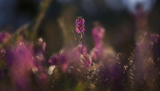 Erica roślina wczesnym rankiem w lesie