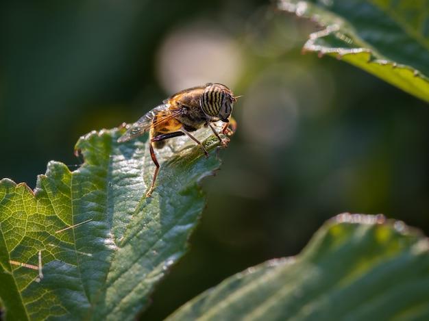Eristalinus taeniops. mucha z rodziny syrphidae.