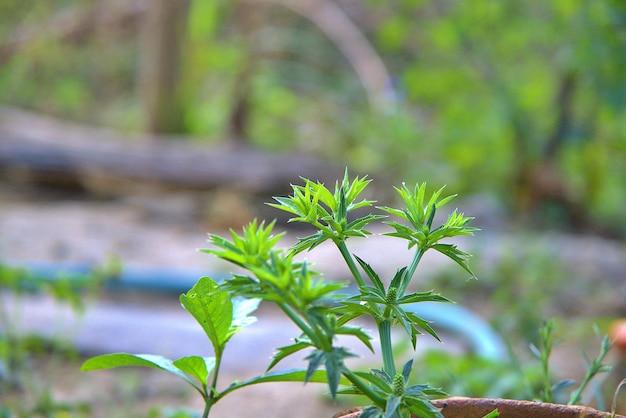 Eryngium foetidum l.culantro jako roślina dwuletnia dzień jaskry z kolendrą