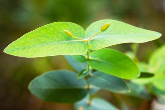 Eucalyptus gunnii, powszechnie znany jako guma do cydru. młode liście eukaliptusa na gałęzi, wczesna wiosna, początek życia