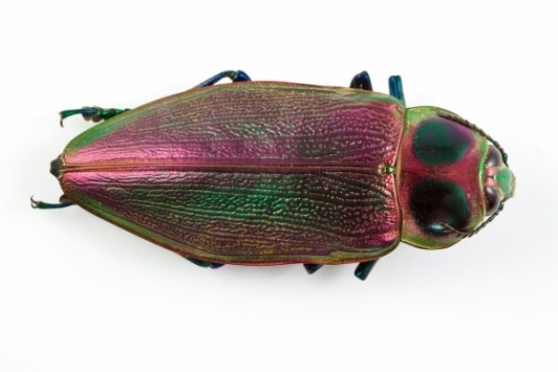 Euchroma gigantea beetle