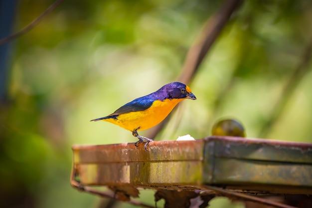 Eufonia purpurowo-gardłowa (euphonia chlorotica) aka fim fim ptak zjadający banana