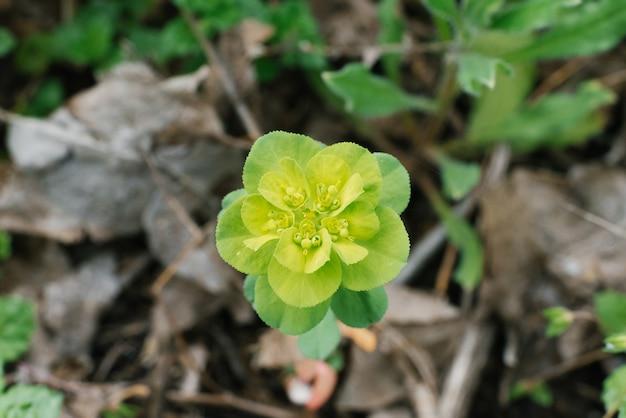 Euforbia kwiat w wiośnie w ogrodowym zakończeniu up