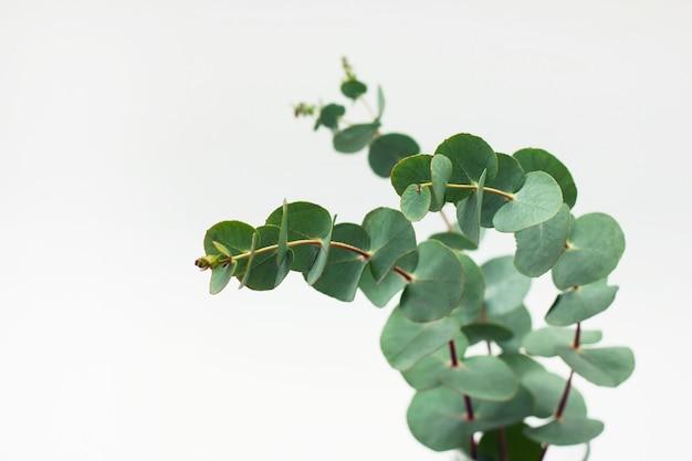 Eukaliptus Rozgałęzia Się W Szkle Z Wodą Na Białym Tle Premium Zdjęcia