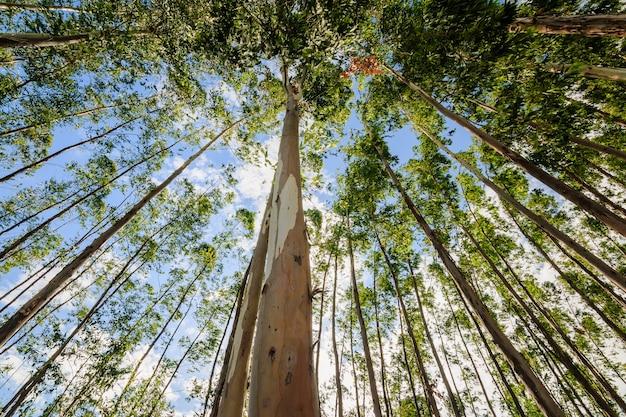 Eukaliptusowy drzewo przeciw niebu