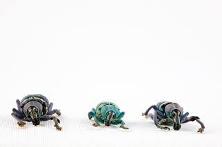 Eupholus beetle trio biały
