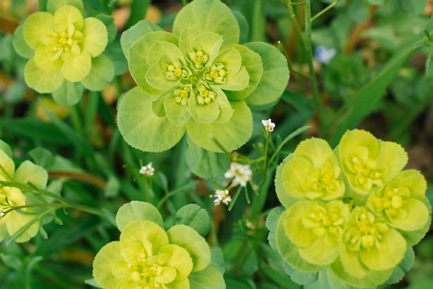Euphorbia helioscopia na wiosnę w ogrodzie z bliska