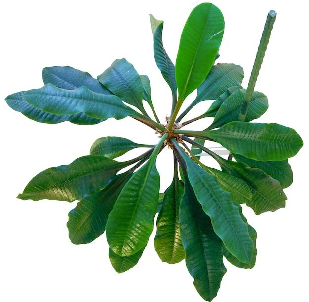 Euphorbia leuconeura roślina w doniczce na białym tle.