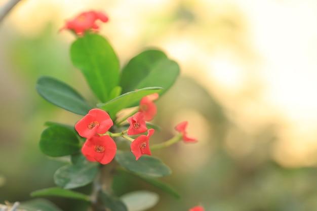 Euphorbia milii czerwony kwiat i zielony liść z tłem słonecznym