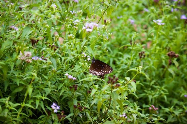 Euploea core, wrona pospolita, siedząca na roślinach kwiatowych