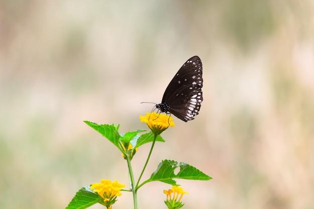 Euploea core, wrona pospolita, siedząca na roślinie kwiatowej z ładnym miękkim tłem