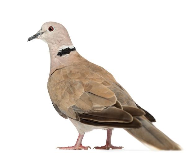 Eurasian collared dove, streptopelia decaocto, często nazywany collared dove na białej powierzchni