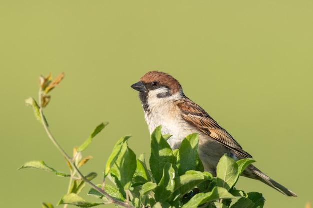 Eurasian tree sparrow passer montanus, kolorowy ptak na gałęzi