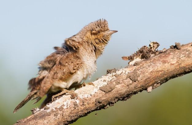 Eurasian wryneck jynx torquilla ptak jest zły nerwowy