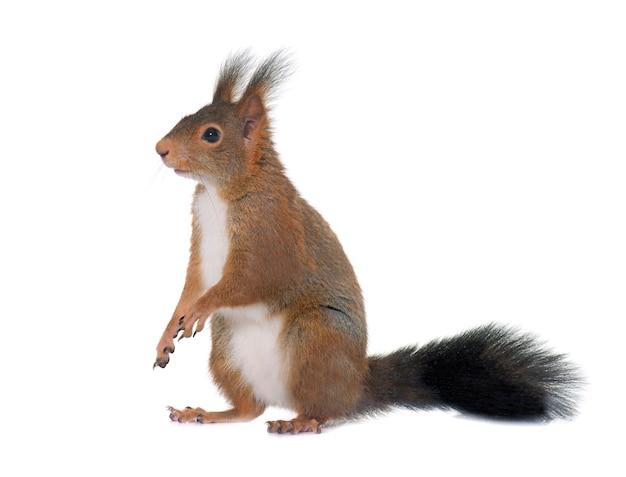 Eurazjatycka czerwona wiewiórka