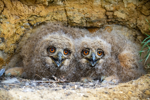 Eurazjatyckie młode puchacze chowające się pod skałami na gnieździe