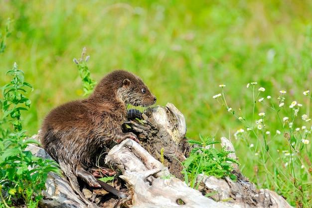 Eurazji dziecko wydra rzeczna. lutra lutra. scena dzikiej przyrody