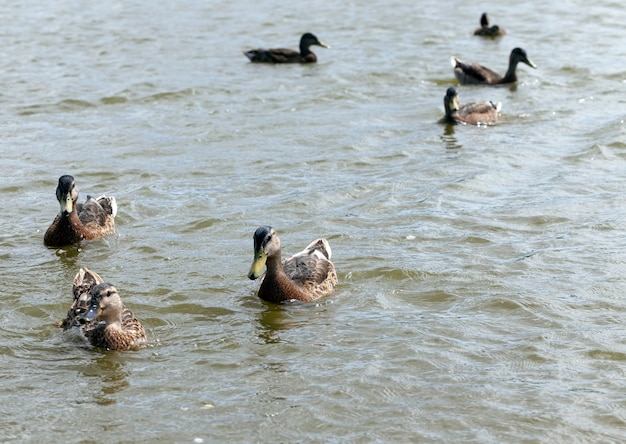Europa wschodnia z dzikimi kaczkami, terytorium jezior i rzek z żyjącymi tam ptakami i kaczkami, wędrowne dzikie kaczki w europejskich jeziorach