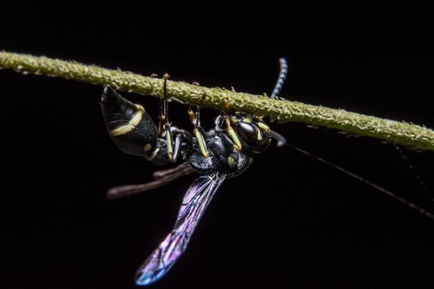 European paper wasp macro