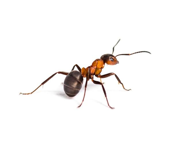 Europejska czerwona mrówka leśna, formica polyctena, na tle bieli