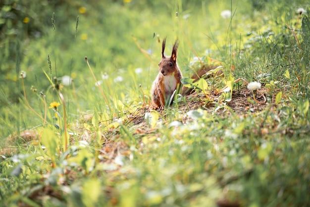 Europejska wiewiórka czerwona w lesie siedząca na trawie
