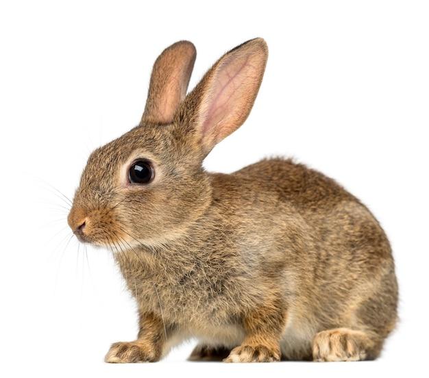 Europejski królik lub zwykły królik na białej powierzchni