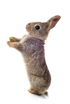 Europejski królik