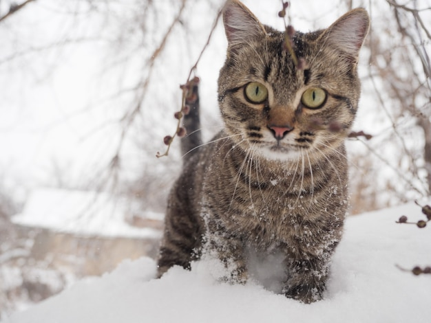 Europejski krótkowłosy stoi zimą ze śniegiem na sierści.