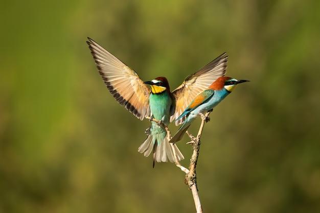 Europejski lądożerca ze skrzydłami szeroko otwarty w letniej naturze