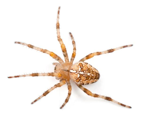 Europejski pająk ogrodowy araneus diadematus na białym tle