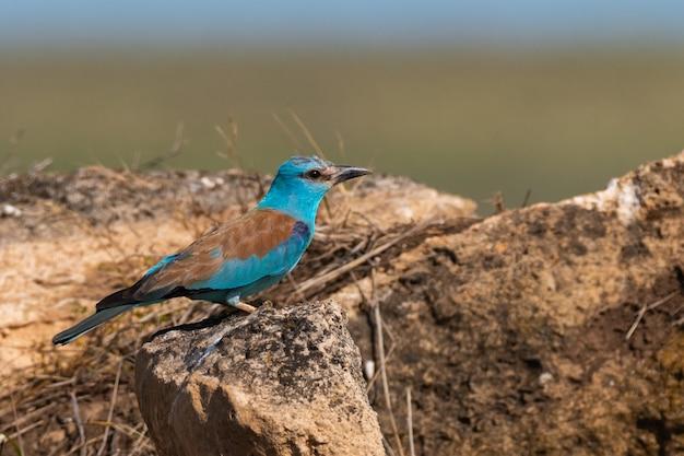 Europejski roller coracias garrulus ptak na wolności.